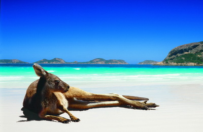 Lazing Lucky Bay Kangaroo